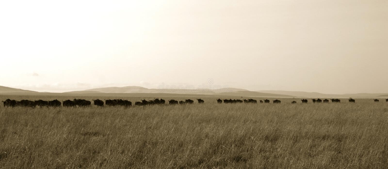 wildebeest переселения стоковые фото