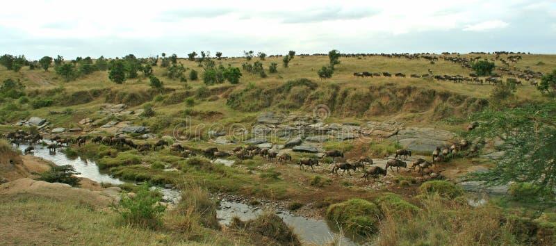 wildebeest переселения стоковая фотография