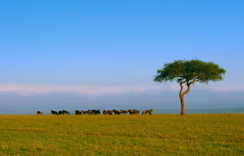 Wildebeest stockbilder