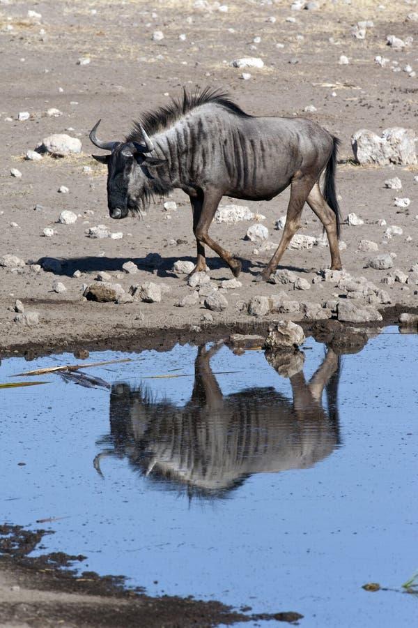 Wildebeest imagem de stock