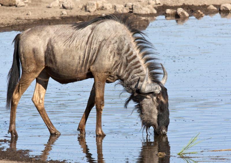Wildebeest fotos de stock