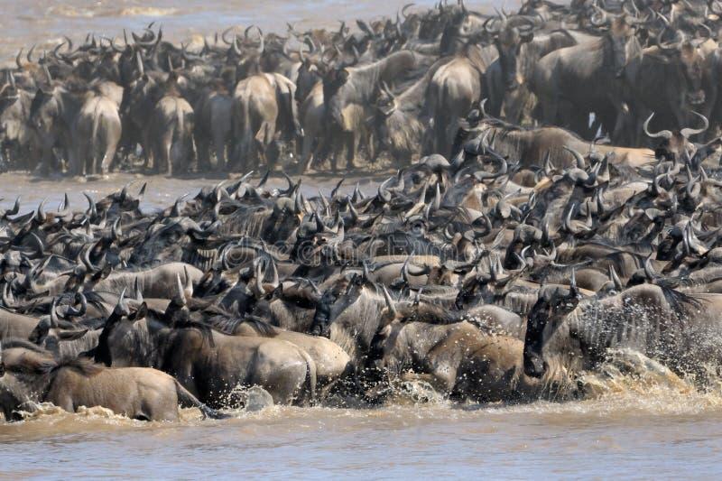 Wildebeest royalty free stock photography