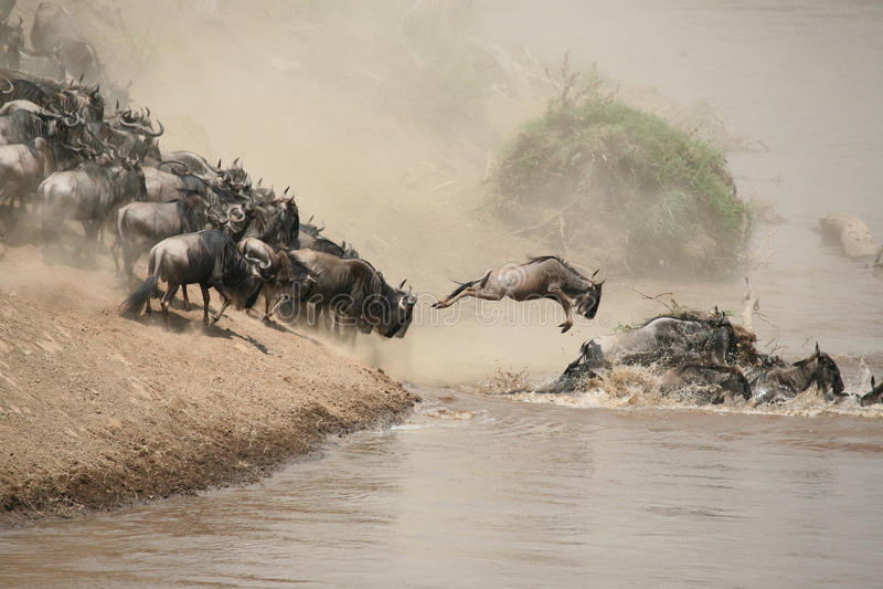 Wildebeest stock foto's