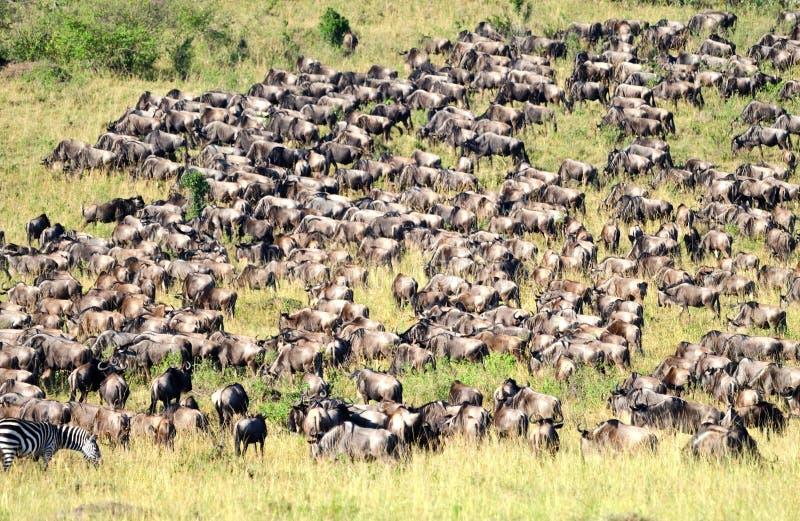 Wildebeest foto de archivo libre de regalías
