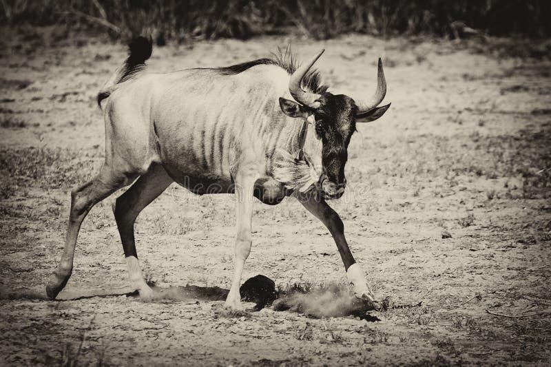 wildebeest στοκ φωτογραφία με δικαίωμα ελεύθερης χρήσης