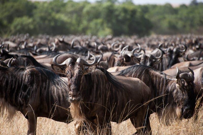 wildebeest lizenzfreie stockfotografie