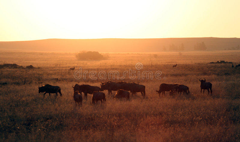 Wildebeest africain photo stock