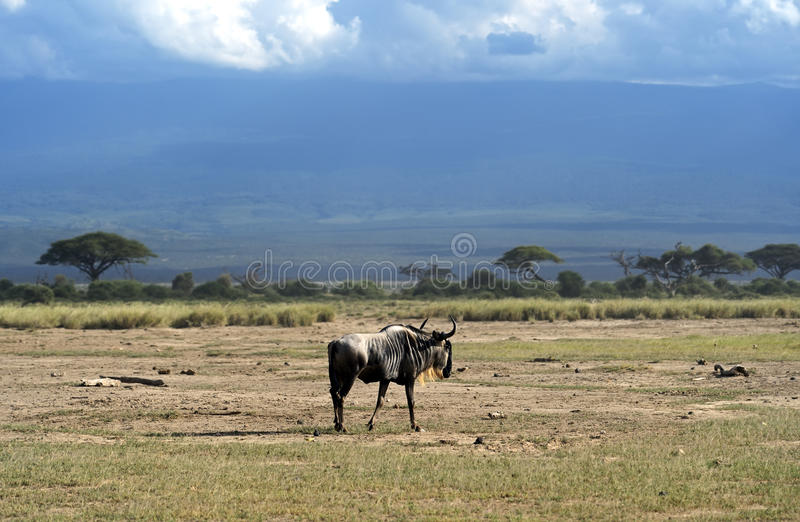 Download Wildebeest stock photo. Image of mammals, mara, timid - 39514520