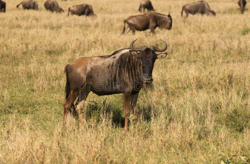 Wildebeest - antílope africano fotos de stock