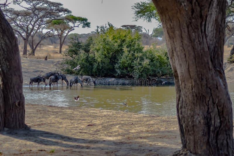 Wildebeest au parc national de Tarangire en Tanzanie Destination touristique photo stock