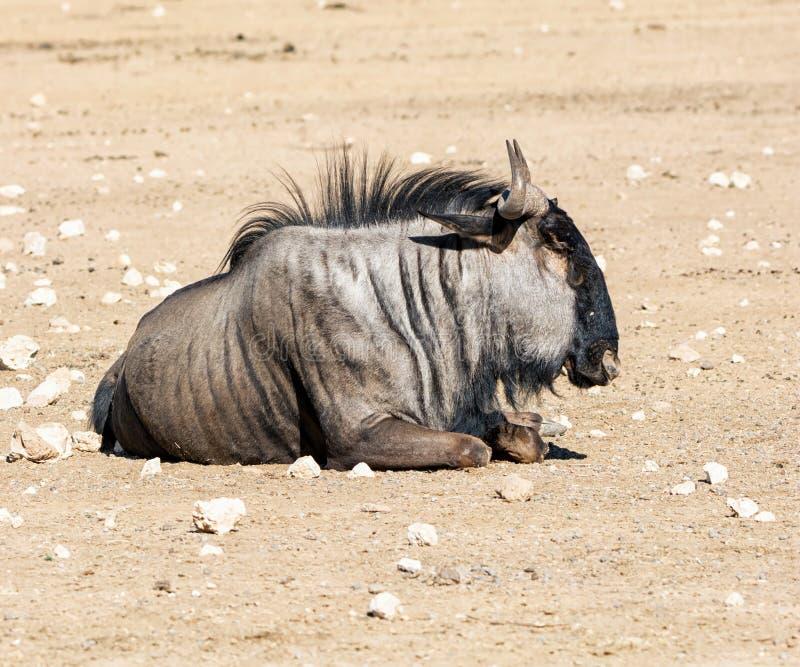 Wildebeest azul foto de archivo libre de regalías