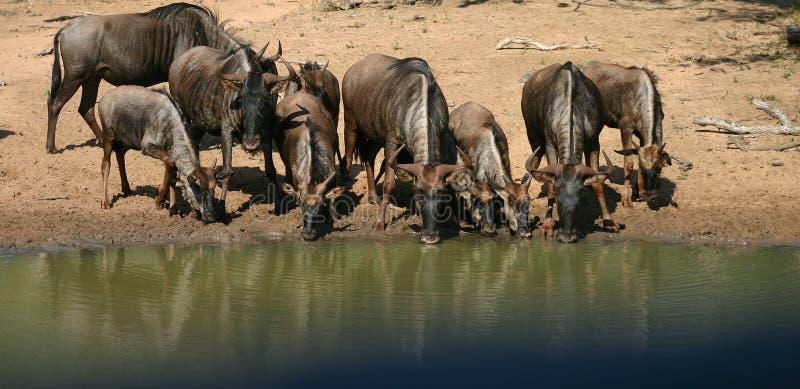 Download Wildebeest azul imagen de archivo. Imagen de antílope - 1279829