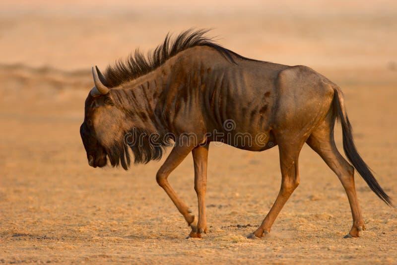 Wildebeest azul fotos de archivo