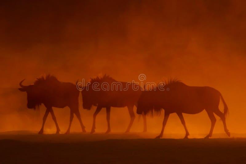 Wildebeest azul fotografia de stock
