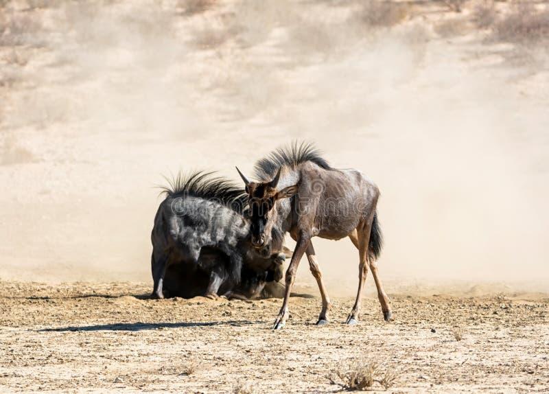 Wildebeest azul fotografia de stock royalty free