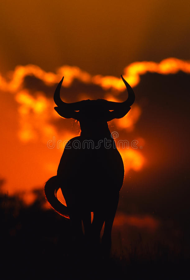 Wildebeest azul no por do sol