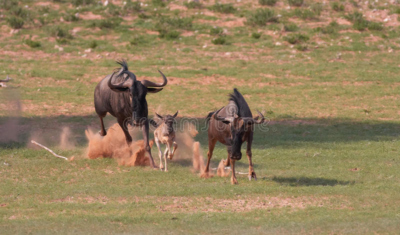 Wildebeest azul (taurinus del Connochaetes) fotos de archivo