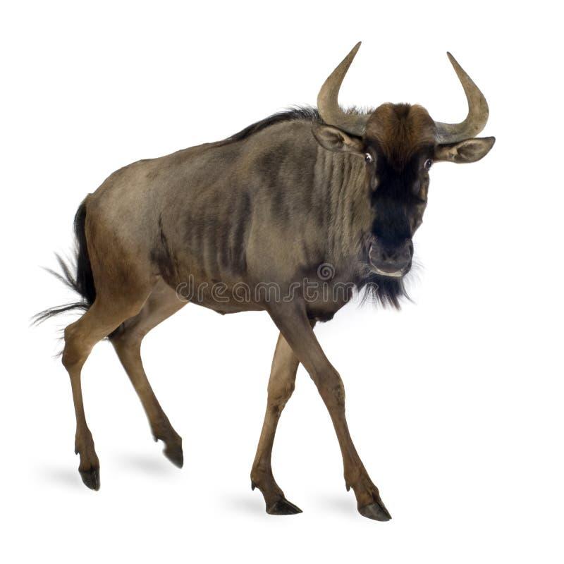Wildebeest azul - taurinus do Connochaetes foto de stock royalty free