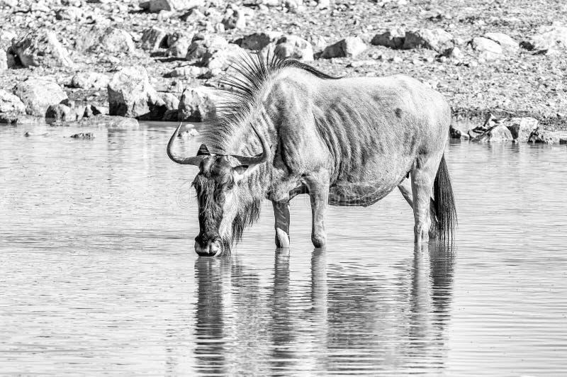 Wildebeest błękitny woda pitna monochrom zdjęcia stock