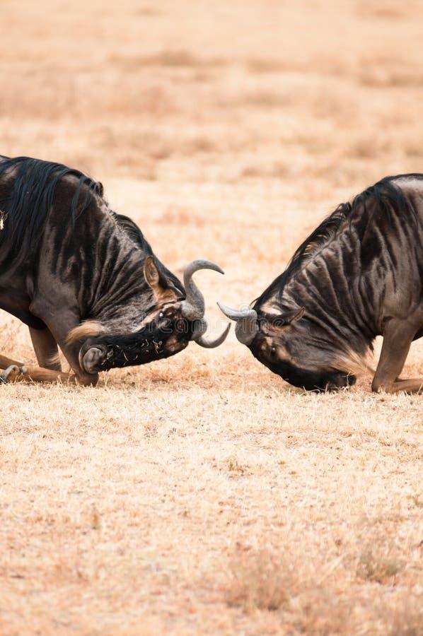 Wildebeest bój obraz stock