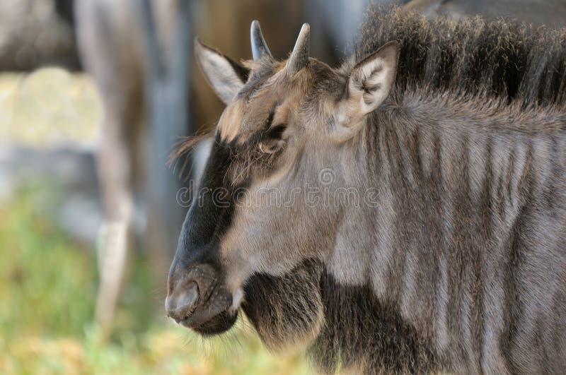 Wildebeest błękitny łydka fotografia stock