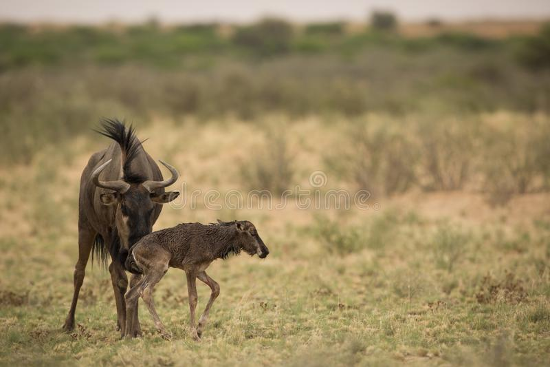 Wildebeest_with_baby royalty free stock photo
