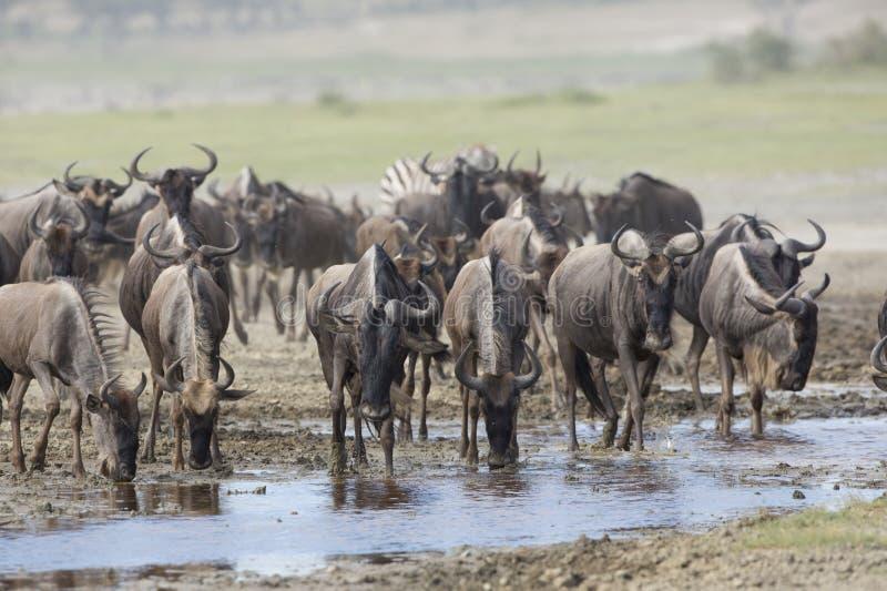 Wildebeest barbudo blanco en el agua potable de la migración. Tanzan fotos de archivo libres de regalías