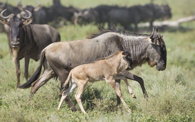 Wildebeest barbudo blanco femenino que corre con su becerro recién nacido, fotografía de archivo