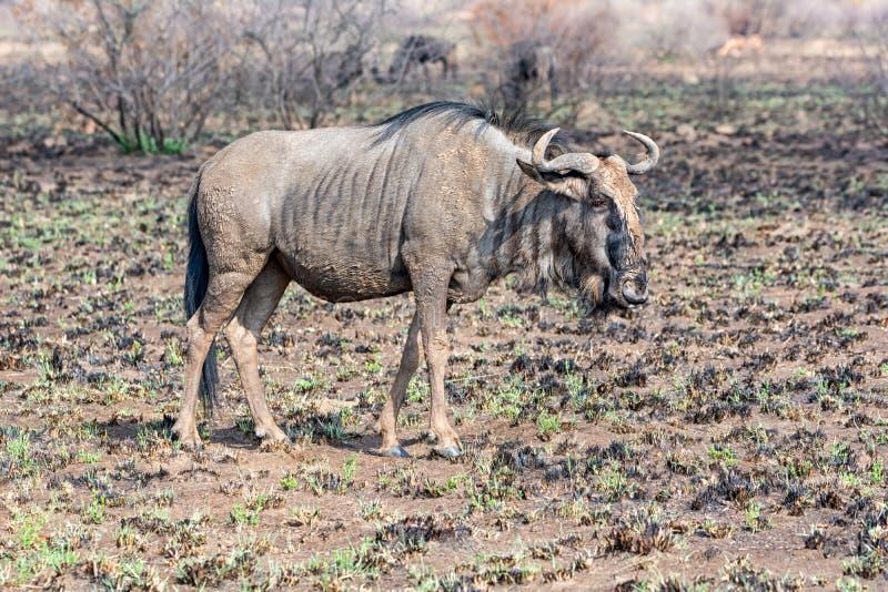 Wildebeest bleu photographie stock