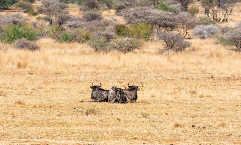 Wildebeest bleu images stock