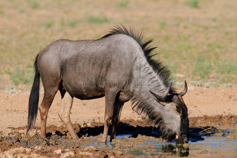 Wildebeest bleu photo libre de droits
