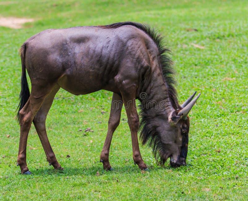 Wildebeest bleu photo stock