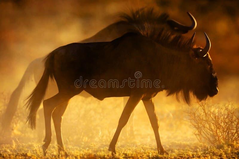 Wildebeest bleu images libres de droits