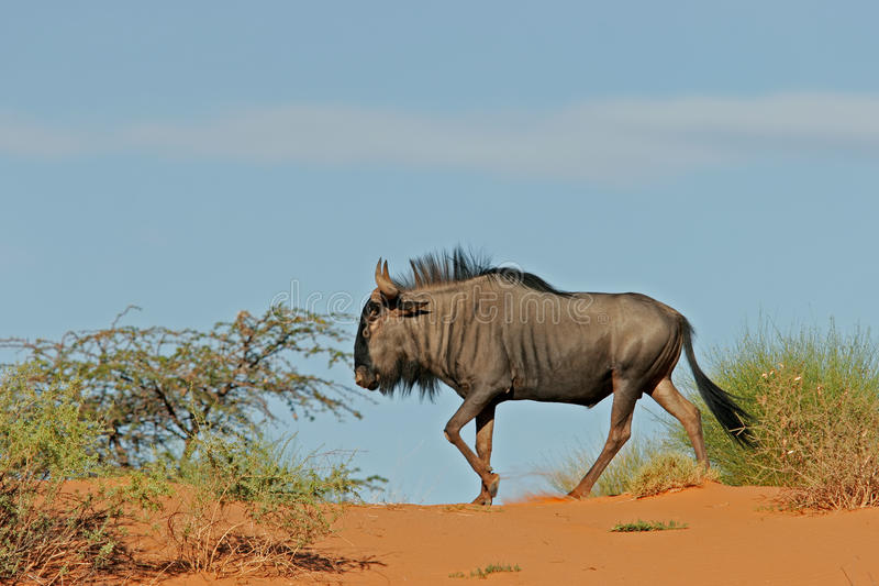 Wildebeest bleu sur la dune photo stock