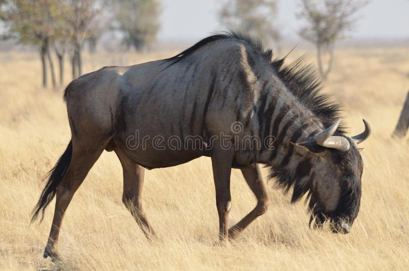 Wildebeest blu immagine stock