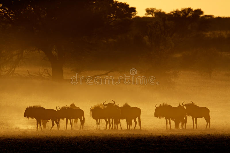 Wildebeest blu in polvere, Kalahari fotografie stock libere da diritti