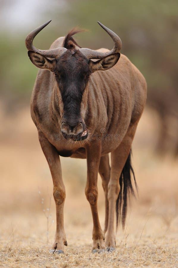 Wildebeest blu (taurinus del Connochaetes) fotografia stock