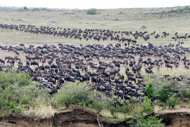 Wildebeest che si raccoglie alla traversa immagine stock libera da diritti