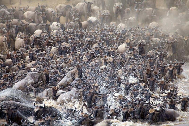 Wildebeest (Connochaetes taurinus) zdjęcie stock