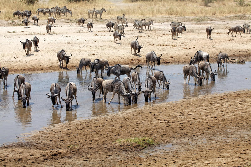 Wildebeest (Connochaetes taurinus). Are drinking in the river royalty free stock image