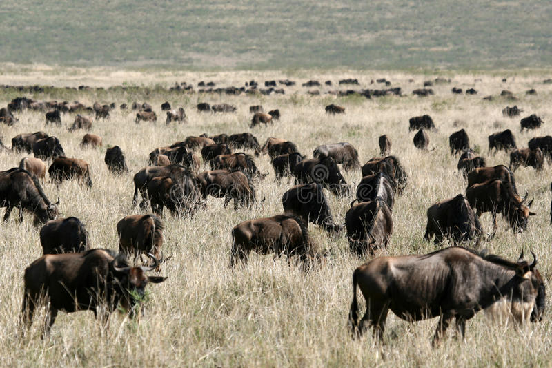 Wildebeest - cráter de Ngorongoro, Tanzania, África imagenes de archivo