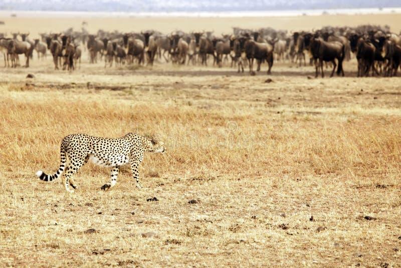 Wildebeest de desengaço da chita de Mara do Masai imagem de stock