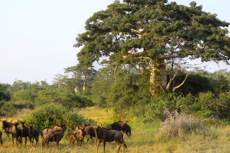 """Wildebeest die dicht een baobab weiden bij het Nationale Park †""""Angola van Kissama stock foto"""