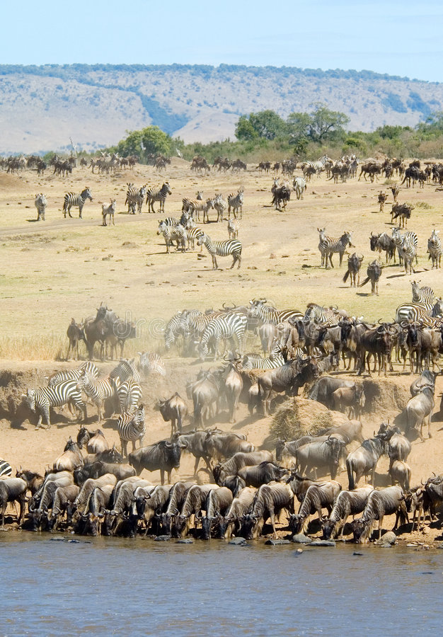 Wildebeest drinking. Wildebeest and zebra gether to drink from the mara river royalty free stock photo