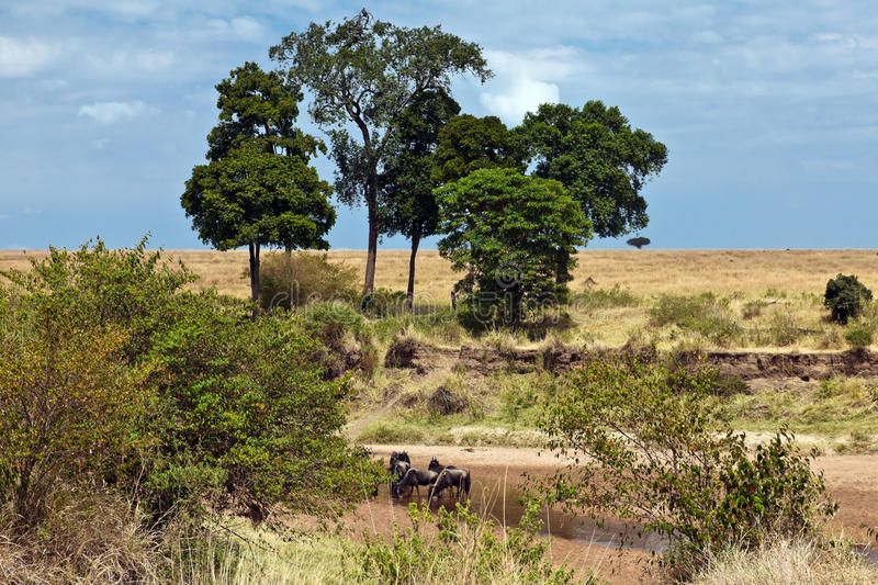 Download Wildebeest Drinking Water In The River Stock Image - Image: 15611381