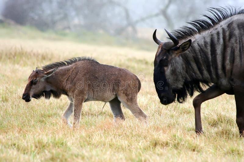 Wildebeest e giovani neri fotografia stock libera da diritti