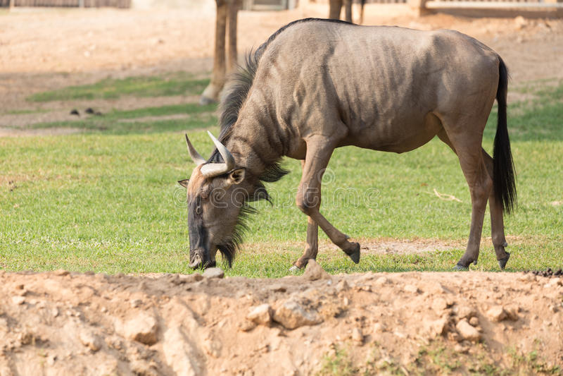 Wildebeest eating grass on the ground. Wildebeest eating grass on the ground royalty free stock photo