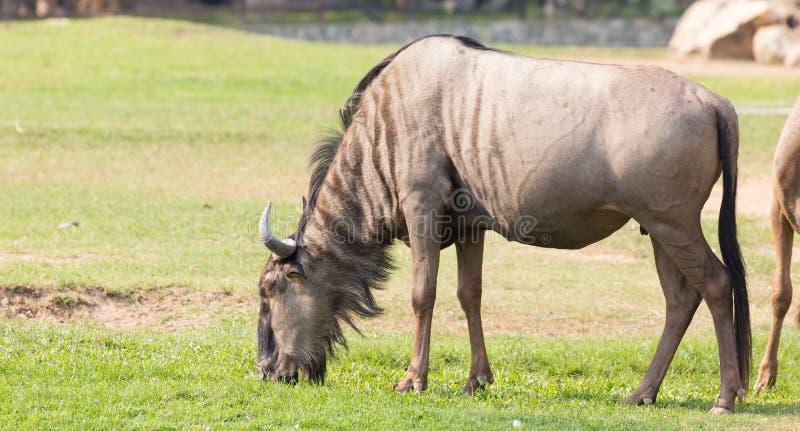 Wildebeest eating grass. Wildebeest eating grass on the ground royalty free stock photos