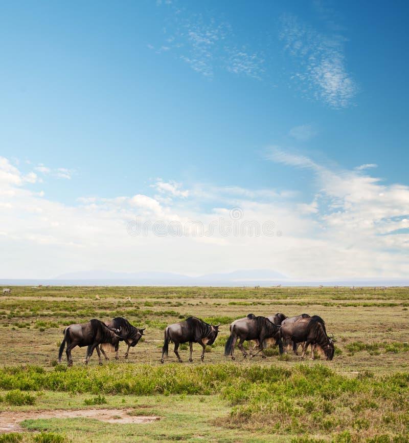 Wildebeest, Gnu no savanna africano imagem de stock royalty free