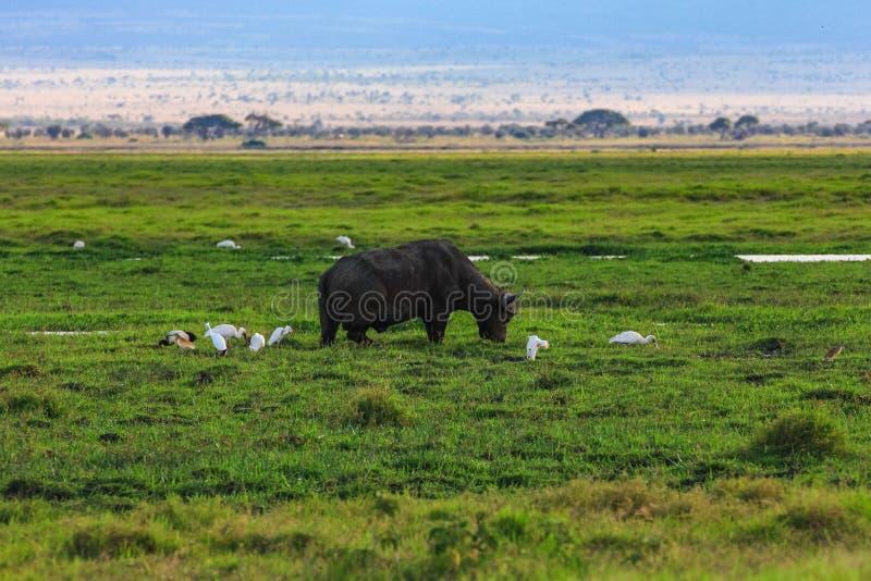 Wildebeest gnu odpoczywa w parka narodowego masai Mara Kenya obrazy stock